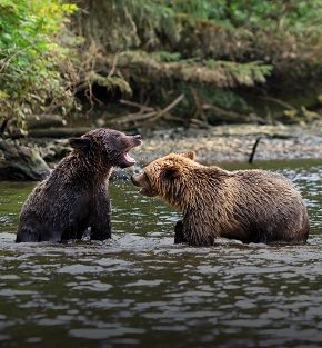 grizzly bears and pacific shores