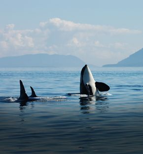 whales, bears and vancouver island fly drive