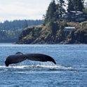 whale tale in british columbia