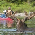 moose with canoes