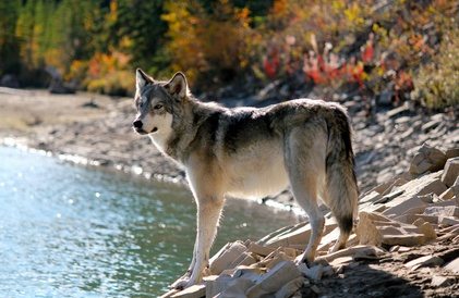 wolf in canada
