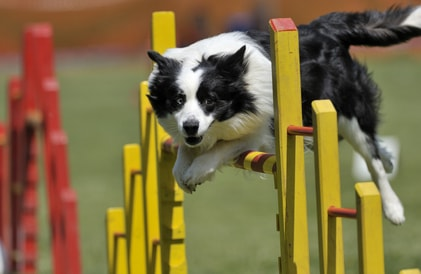 collie obstacle course
