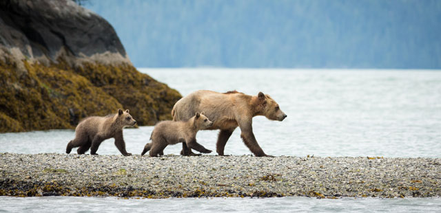 Bears at Knight Inlet Lodge