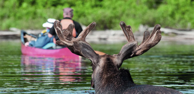 Moose in Algonquin, Ontario