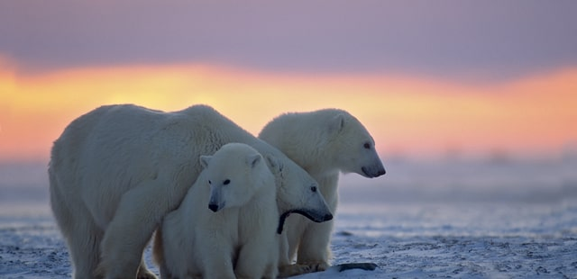 Polar bears in Manitoba