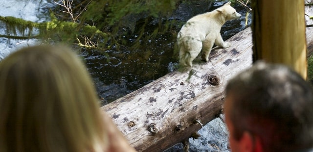 Elusive white Spirit Bear