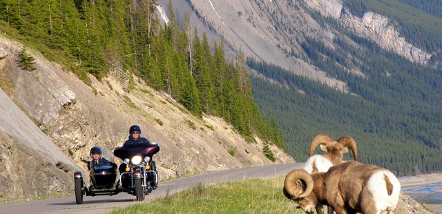 Big horn sheep, Banff