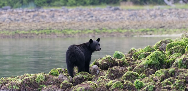 Coastal black bears