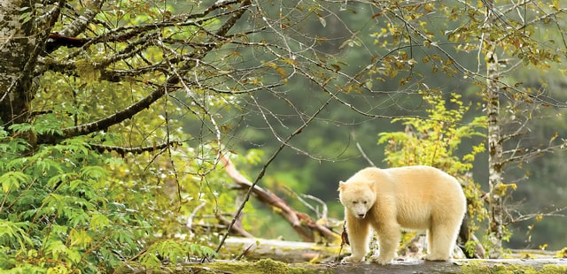 British Columbia Spirit Bear